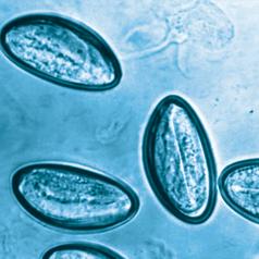 Hőmérséklet pinworms kel felnőttkorban, A pinworm peték invazív érettséget érnek el